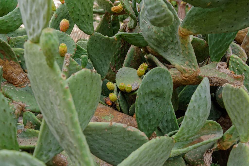 Kaktus, Capdepera