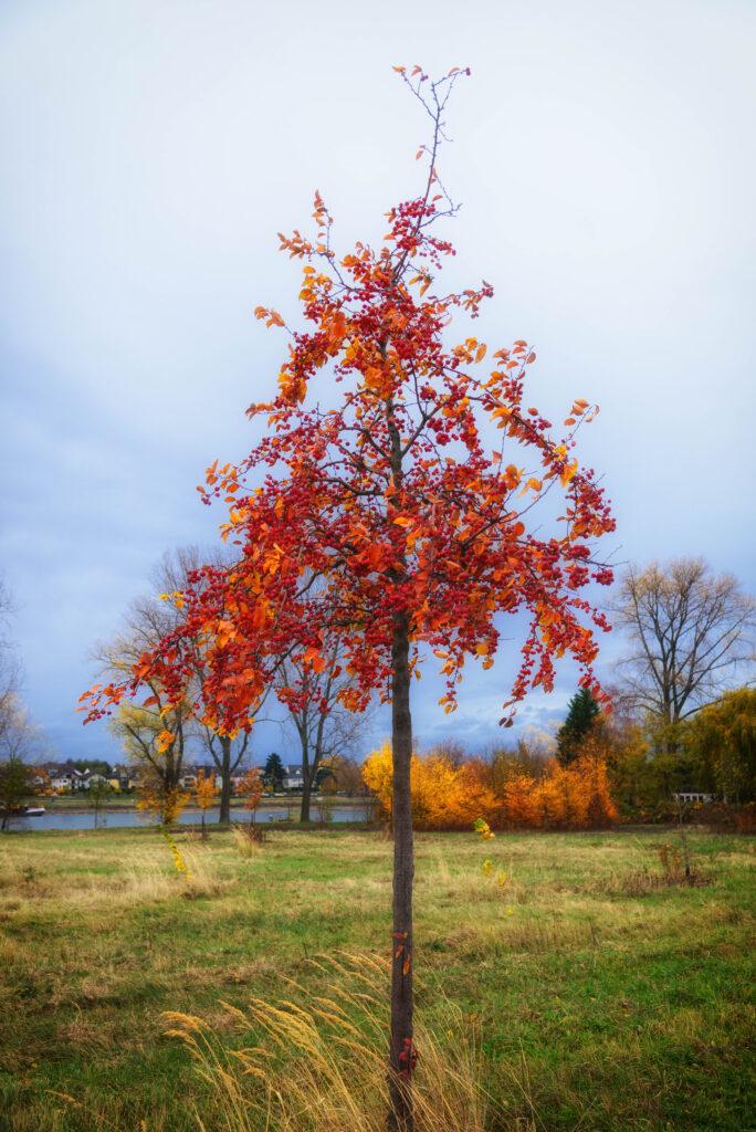 Baum bei Hersel